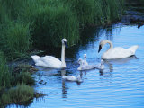 A Family of Trumpeter Swans Swims in the Water Photographic Print by Melissa Farlow