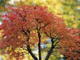 Pretty Pink-Colored Leaves on a Bonsai Japanese Maple Tree Photographie par Darlyne A. Murawski
