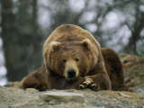 A Grizzly Bear at Rest on the Edge of the Larson Bay Dump Photographic Print by Joel Sartore