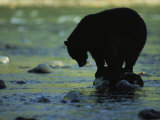 Black Bear Perched on Rock Watching for Fish Photographic Print by Joel Sartore