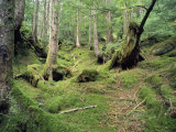 A Mossy Woodland View on Queen Charlotte Island Photographic Print by Bill Curtsinger