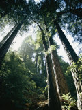 View Looking up the Trunks of Giant Redwood Trees Photographic Print by Walter Meayers Edwards