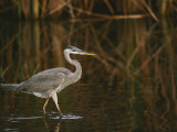 A Close View of a Great Blue Heron Photographic Print by Raymond Gehman