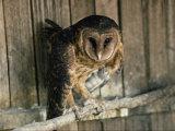 Captive Tasmanian Masked Owl Photographic Print by Joe Scherschel