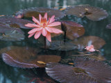 Water Lily Plants Photographic Print by B. Anthony Stewart