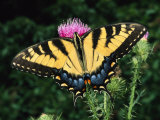 A Tiger Swallowtail Butterfly Feeds on a Thistle Flower Photographic Print by George Grall