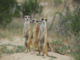 Three Meerkats Photographie par Nicole Duplaix