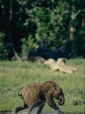 A Young African Forest Elephant Splashes Water as it Runs Through the Forest Photographic Print by Michael Fay