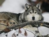 Portrait of a Captive Gray Wolf Fotografisk trykk av Roy Toft