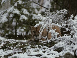 Mountain Lion Stalks Prey in a Snowy Landscape Photographic Print by Jim And Jamie Dutcher