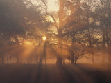 Sunlight Filters Through Trees and Fog at Sunrise Fotografie-Druck von Norbert Rosing
