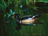 A Male Wood Duck Makes its Home in the Wildlife Park at Brookgreen Gardens in South Carolina Photographic Print by Raymond Gehman