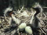 Two Great Blue Heron Fledglings Sit Near Eggs in a Nest Photographic Print by Michael S. Quinton