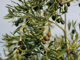Close View of Olive Tree Branches Photographic Print by Joe Scherschel