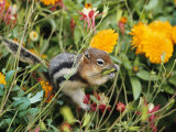 A Golden-Mantled Ground Squirrel Nibbles a Meal Amidst Wildflowers Photographic Print by George F. Mobley