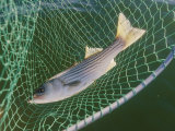 Striped bass in net, Photographic Print