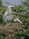Great Blue Herons on Their Nest Photographic Print by Roy Toft
