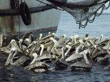 Pelicans Float in Water Near a Shrimp Boat Photographie par Bill Curtsinger