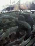 A Fishing Boat Pulls in a Seine Net Filled with Chum Salmon Fotoprint van Bill Curtsinger