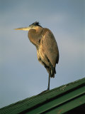 A Great Blue Heron Perches on a Rooftop in the Gulf Islands National Seashore Photographic Print by Raymond Gehman