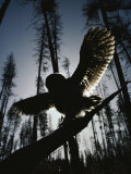 A Great Gray Owl, Five or Six Weeks Old, Spreads His Wings Wide Fotografie-Druck von Michael S. Quinton