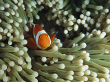 Clown Anemonefish in Sea Anemone, Pacific Ocean Photographic Print by Joe Stancampiano