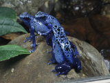 A Pair of Blue Poison Dart Frogs Mate as Another Looks On Photographic Print by George Grall
