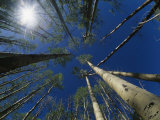 Skyward View of a Sunburst Through Towering Aspen Trees Photographic Print by Raul Touzon
