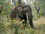 African Elephant in the Bush Photographic Print by Nicole Duplaix