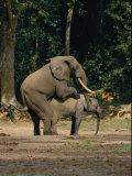 Two African Forest Elephants Mating Photographic Print by Michael Fay