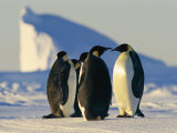 Emperor Penguins on the Frozen Southern Ocean Photographic Print by Maria Stenzel