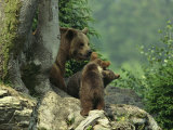 Brown Bear with Cubs, Bayerischer Wald National Park, Germany Photographic Print by Norbert Rosing