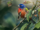 Painted Bunting (Passerina Ciris), Corkscrew Swamp Sanctuary, Florida Photographic Print by Roy Toft