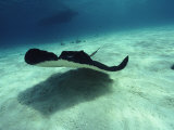 Stingray, Cayman Islands, West Indies Lámina fotográfica por Joe Stancampiano