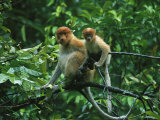A Proboscis Monkey, Nasalis Larvatus, and Child Rest on a Branch Photographic Print by Tim Laman