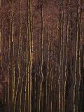 Winter View of a Stand of Aspen Trees in the Late Afternoon Light Photographic Print by Raul Touzon