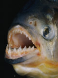 Close-up of a Piranha Photographic Print by Paul Zahl