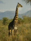 A Giraffe in the Wild Photographic Print by Michael Fay