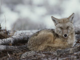 A Coyote (Canis Latrans) Curled up on the Ground Photographic Print by Tom Murphy