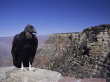 A Tagged Black Vulture on a Ledge of the Grand Canyons South Rim Photographic Print by Richard Nowitz