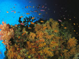 Anthias and Other Fish Swim Near a Reef Wall Covered with Soft Coral Photographic Print by Tim Laman