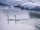 Serene Adult Trumpeter Swans Sail the Snow-Banked Madison River Photographic Print by Raymond Gehman