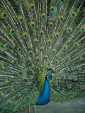 A Male Peacock Spreads His Beautiful Tail Plumage Photographic Print by David Evans