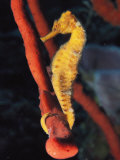 A Longsnout Seahorse, Hippocampus Reidi, with Tail Curled on a Sponge Photographic Print by Bill Curtsinger