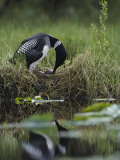 A Loon Raises Itself to Turn its Eggs with its Beak While Incubating Fotografiskt tryck av Michael S. Quinton