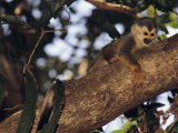 Squirrel Monkey in Tree Photographic Print by Steve Winter