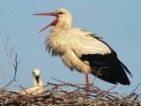 Cigogne et son bébé dans le nid Photographie par Norbert Rosing