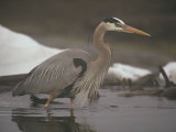 Close View of a Great Blue Heron Searching the Shallows for Food Fotografiskt tryck av Michael S. Quinton