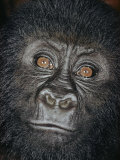 Portrait of a Four-Year-Old Male Gorilla Photographic Print by Paul Zahl