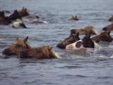 Wild Chincoteague ponies swim the Assateague Channel to auction. Giclee Print, National Geographic